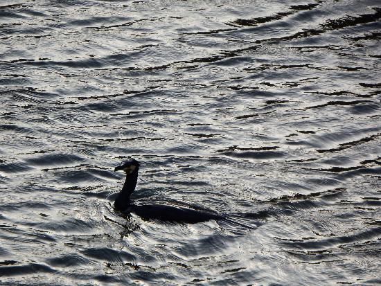 空堀川で泳ぐカワウの姿がまるでネッシーに見える。