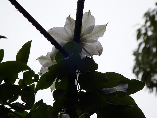 曇り空を見上げる白い風車の花