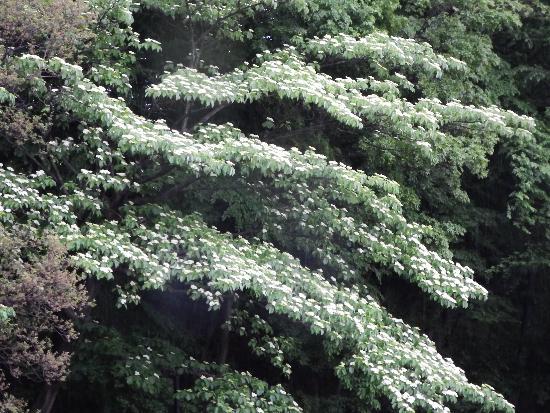 三郷橋より清瀬の森の木に咲く白い花