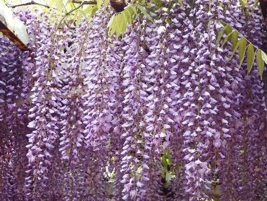 甘い香りが漂う藤の花