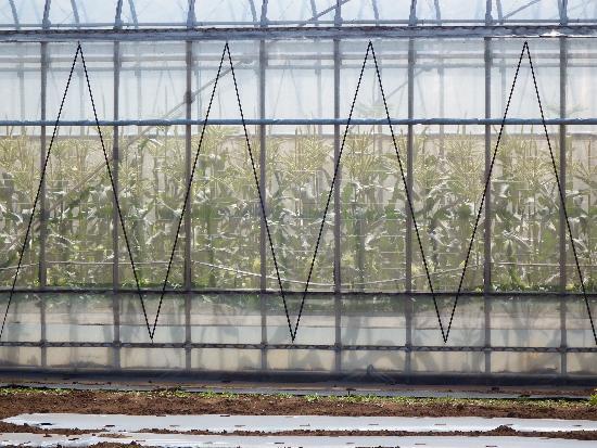 清瀬のとうもろこしハウス栽培