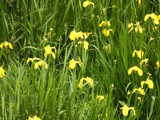 金山調整池の周辺に咲くキショウブ