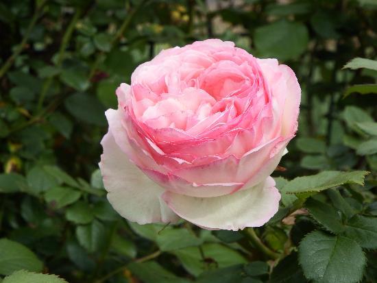 農家の庭に咲くピンクのバラ