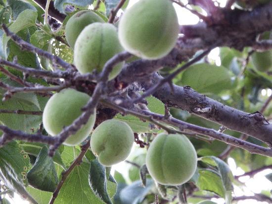 遊歩道沿いの梅の木