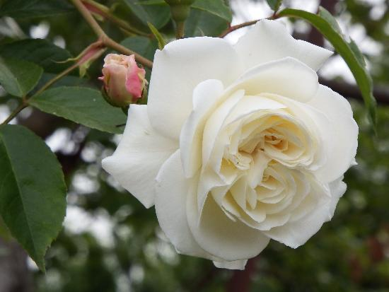 同じく農家の庭に咲く白いバラ