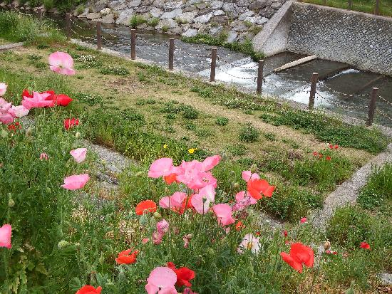 柳瀬川沿い(清瀬市中里)に鮮やかに咲くポピー(ヒナゲシ)