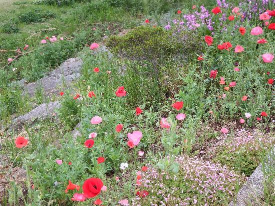 岩の上に咲くポピーは、まるでなんちゃって高山植物のようにも映る。