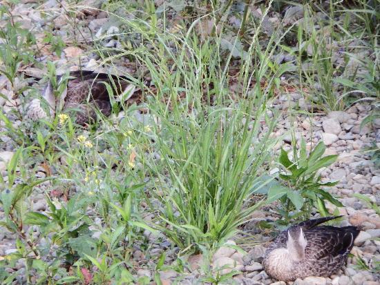 同じ川岸にて眠っているカルガモ二羽の姿