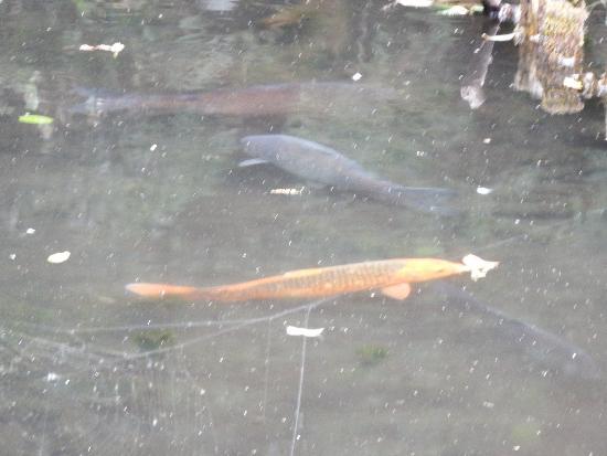 公園内の池に泳ぐニシキゴイ