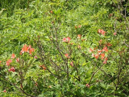 浅間牧場内に咲くレンゲツツジ