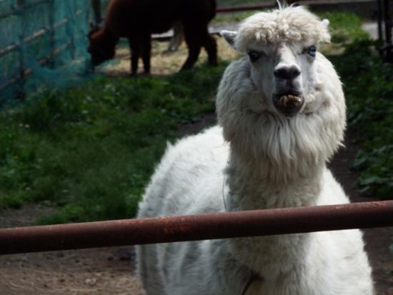 「ウェー!ウェー!」うるさく鳴く白いアルパカ