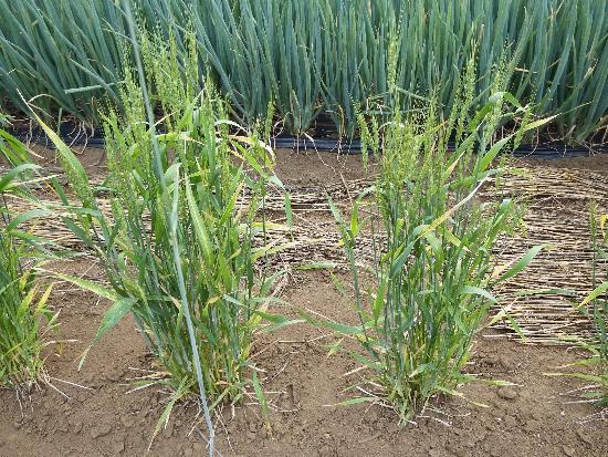 畑に麦の苗