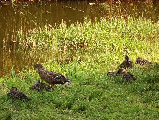 池のそばにいるカルガモの親子