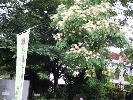 名前は不明ですが、扇のようなフサフサとした花が咲く木。