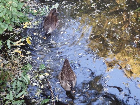 せせらぎ公園の宮下橋の下でひっそり泳ぐカルガモの番