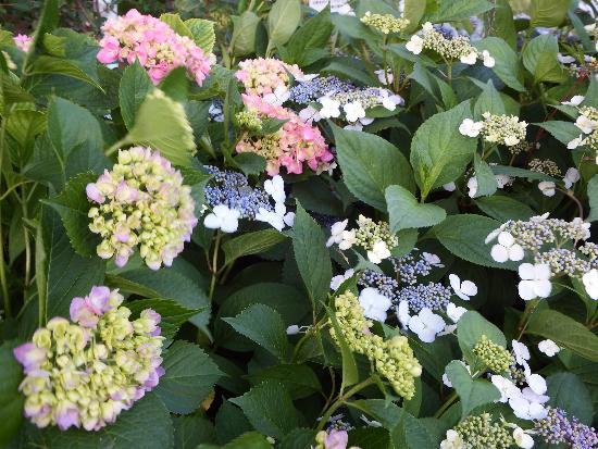 せせらぎ公園 宮下橋付近に咲き始めるアジサイ