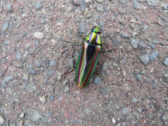 今は珍しい虹色に輝くタマムシ