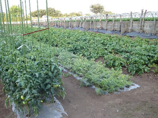 畑の左よりトマト、にんじん、じゃがいも