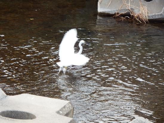 羽をパタパタ広げるコサギ