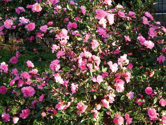 ピンクのボタンのような花