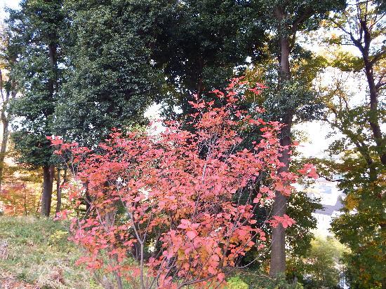 鮮やかな紅葉のニシキギ。