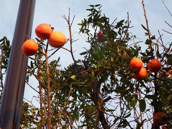 空堀川沿いの某お宅の柿の木