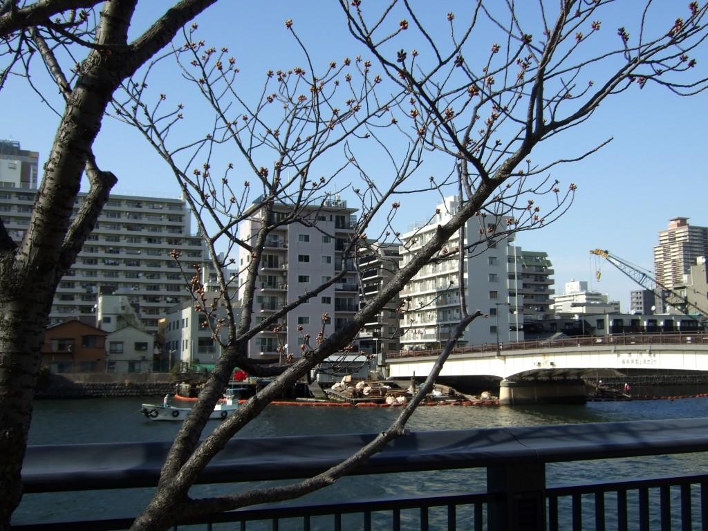 あっ!つぼみ!桜の開花はもうちょっとですね。